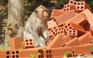 Tận mắt chứng kiến đàn khỉ lạ quậy phá khu dân cư ở TP HCM