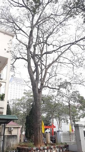 Lạng Sơn: Công an điều tra vụ cây sưa trong khuôn viên Sở KH&ĐT bị đổ 'nước lạ'