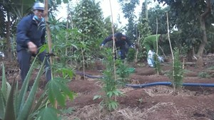 Tạm giữ người đàn ông trồng hơn 1.000 cây cần sa để cho... gà ăn