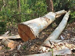 Đắk Lắk: Gần 100 cây gỗ quý bị đốn hạ tại Khu Bảo tồn thiên nhiên Ea Sô