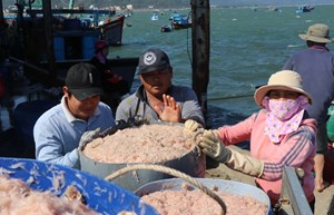 Phú Yên: Ngư dân trúng đậm chuyến lộc ruốc biển đầu năm