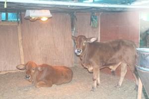 Thái Bình: Dịch viêm da nổi cục trên trâu, bò xuất hiện ở 8/8 huyện, thành phố
