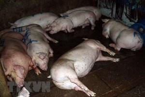 Phát hiện lò mổ bơm nước vào lợn trước khi giết mổ