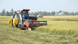 Đồng bằng sông Cửu Long: Giá lúa tăng cao