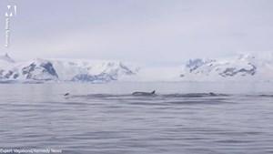 [VIDEO] Chim cánh cụt cố tìm cách thoát khỏi cá voi sát thủ