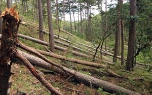 Lâm Đồng: Hàng trăm cây thông cổ thụ trong rừng phòng hộ đầu nguồn bị đốn hạ