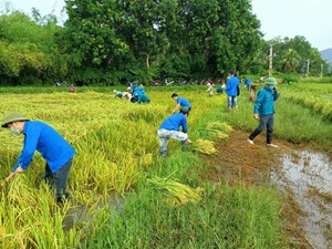 Bí thư Huyện uỷ xuống đồng gặt lúa giúp dân vùng dịch chạy bão