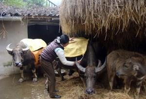 Cứu hộ trâu bò
