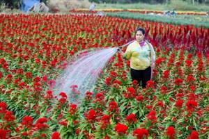 Làng hoa ngoại ô TP Hồ Chí Minh chuẩn bị vụ hoa Tết