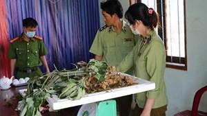 Phát hiện các loại củ 'đội lốt' sâm Ngọc Linh Kon Tum