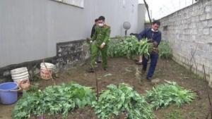 Lạng Sơn: Phát hiện 9 hộ gia đình trồng hơn 3.500 cây thuốc phiện