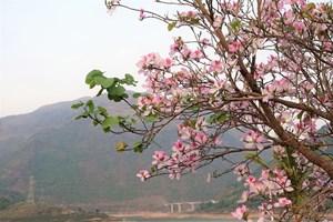 Lạc giữa rừng hoa ban