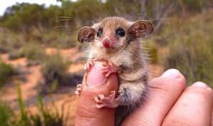 Australia giải cứu loài chuột túi tí hon