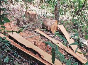 Vẫn khó dẹp nạn phá rừng, vì sao?