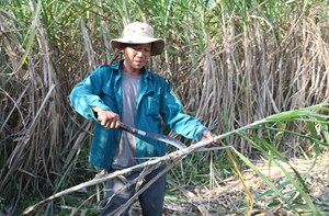 Nông dân Đà Nẵng lao đao vì cây mía