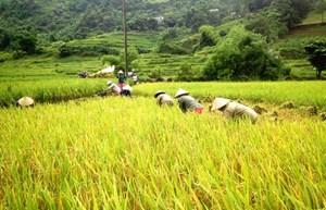 Giá lúa Hè Thu ổn định ở mức cao