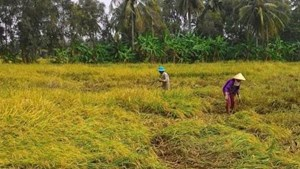Cà Mau: Hơn 1.400 ha lúa đổ ngã, đê biển bị uy hiếp do mưa lớn