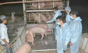 Lợn sống Thái Lan đã về Việt Nam