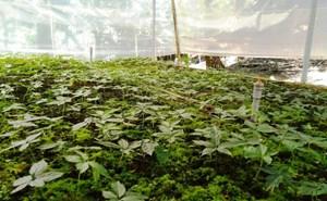 Quảng Nam: Bắt nghi phạm nhổ trộm gần 100 cây sâm  Ngọc Linh