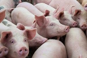 Giá lợn hơi trong nước tăng trở lại