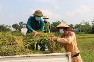 Gặt lúa giúp bà con trong thời gian cách ly y tế