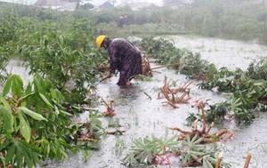 Quảng Nam: Người dân tranh thủ thu hoạch nông sản khi nước rút