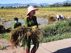 Quảng Ngãi: Công an, Quân đội cùng hội, đoàn thể giúp dân gặt lúa bị ngập sau bão