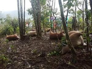 Sét đánh chết 7 con bò của một hộ dân Quảng Nam