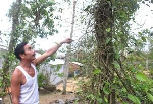 Quảng Nam: Những vườn tiêu xứ Tiên xác xơ sau bão lũ