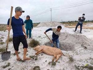 Quảng Nam: Người chăn nuôi lo lắng dịch tả lợn châu Phi tái bùng phát