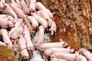 Kinh hãi, hàng trăm con lợn bị vứt bỏ tại khu vực giáp ranh Nghệ An – Thanh Hóa