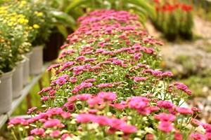 Rực rỡ làng hoa Sa Đéc mùa hoa Tết