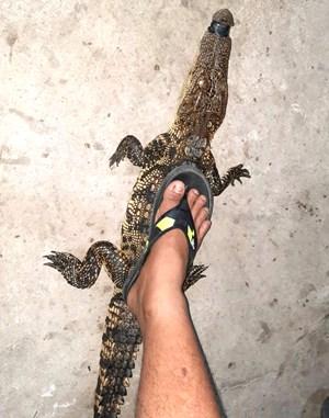 Bạc Liêu: Thăm lưới thanh niên tá hoả phát hiện dính cá sấu