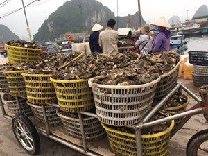 Quảng Ninh: Tìm đầu ra cho nhuyễn thể Vân Đồn