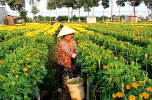 Làng hoa miền Tâyđón Tết