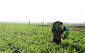Hải Dương: Cấp thẻ ra đồng cho nông dân vùng dịch huyện Cẩm Giàng