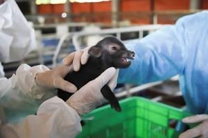 Bước ngoặt của ngành Chăn nuôi: Nhân bản vô tính giống lợn ỉ