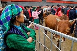 Chợ bò trên cao nguyên đá