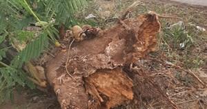 Cây phượng đổ đè chết nữ điều dưỡng trong cơn mưa