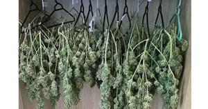 Cảnh sát phát hiện hàng trăm cành lá cần sa 'treo' trong tủ quần áo