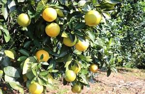 Cây cam giúp dân giảm nghèo