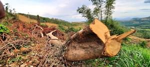 Hơn 30 ha rừng bị chặt phá chỉ để trồng keo