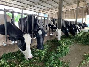 Làm giàu từ nuôi bò sữa