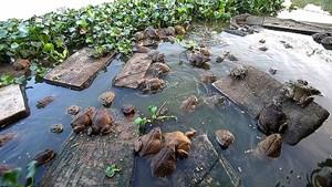 Tăng thu nhập nhờ nuôi ếch