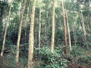 Thiếu chính sách hỗ trợ trồng rừng gỗ lớn