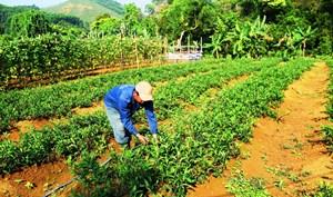 Thoát nghèo từ cây rau rừng trên dãy Trường Sơn