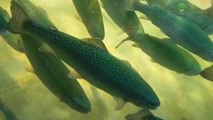 Lạng Sơn: Làm giàu từ nuôi cá hồi