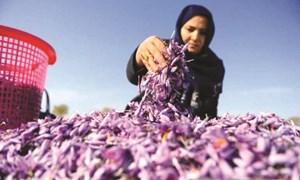 Attai - bà trùm 'vàng đỏ' Afghanistan