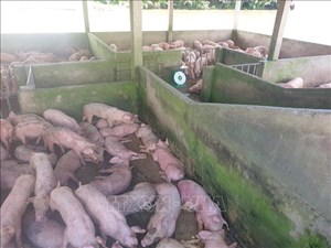 Phát hiện sớm, xử lý kịp thời các ổ dịch tả lợn châu Phi