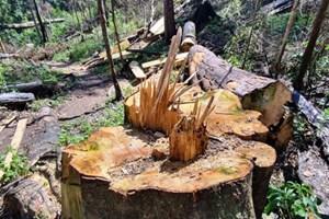 Gỗ rừng vào nhàtổ trưởng bảo vệ rừng